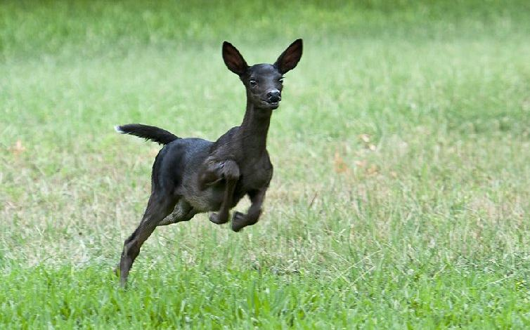 rare black fawn